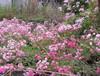 Rose200905242_2